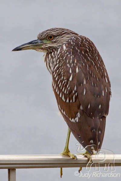 Immature Black-crowned Night Heron on fence...seems to have adopted our back yard and swimming pool.