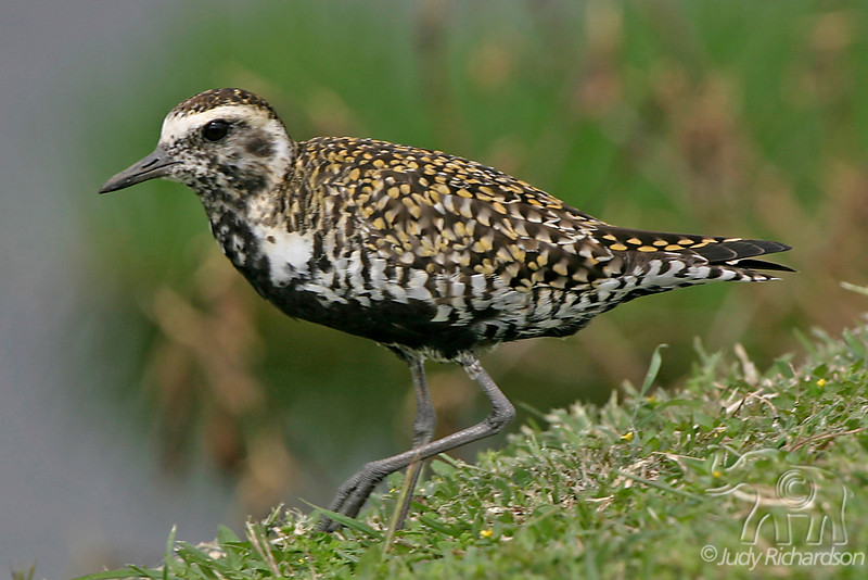 Pacific-Golden Plover or Ko'lea in breeding plumage.
