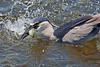 Black-Crowned Night heron after diving for fish