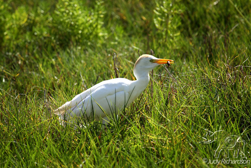 Cattle Egret in breeding plumage with bug in bill at Kaelepulu Wetlands, Kailua, Hawai'i.