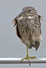Immature Black-crowned Night Heron enduring 25 mph winds