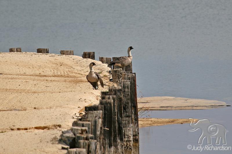 Two Nene birds on Sand