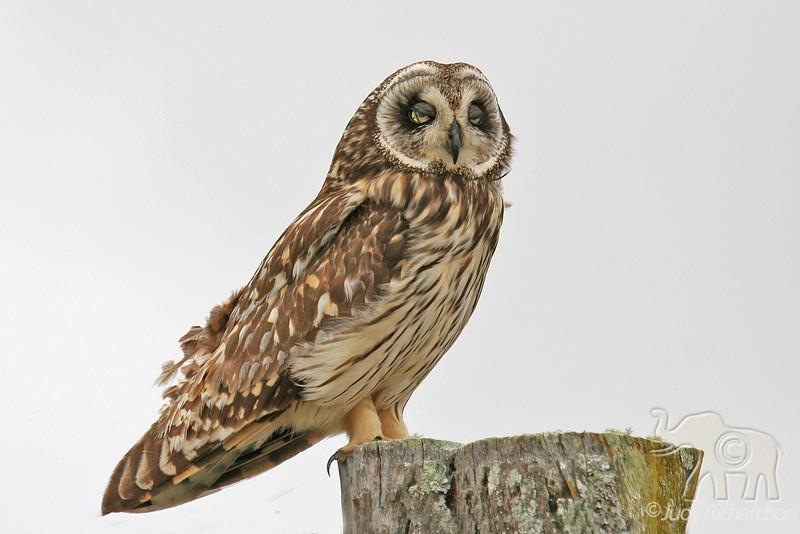 Short-eared Owl or Pueo on Post~Falling asleep