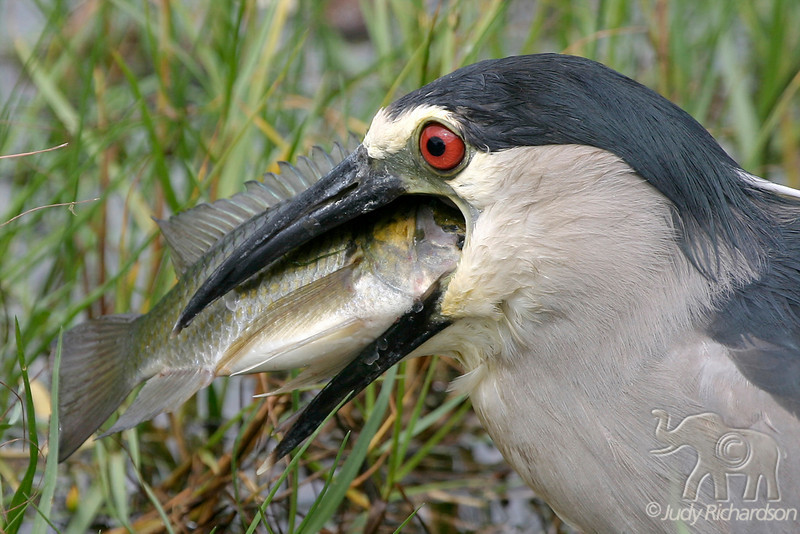 Black-crowned Night Heron getting fish in position to swallow.