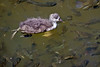Hawaiian Coot Chick surrounded with fish~Hamakua Marsh, Kailua