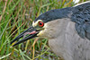 Black-crowned Night Heron after swallowing fish, tongue protruding.