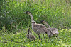 Two Nene with chicks~Hawai'i State Bird