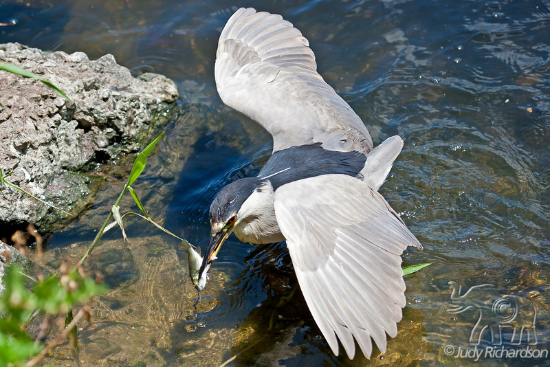 Black-Crowned Night heron with catch