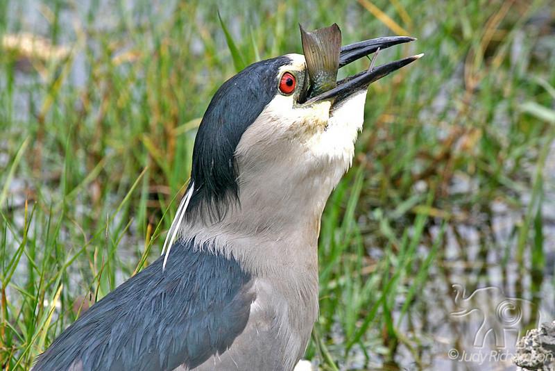 Black-crowned Night Heron with last gulp before fish is swallowed.