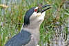 Black-crowned Night Heron with last gulp before fish is swallowed.