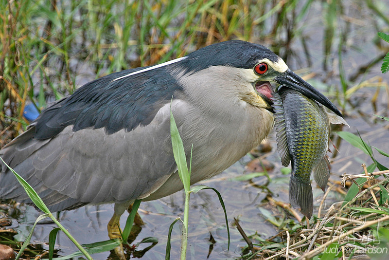 Black-crowned Night Heron with large catch. Took 20 minutes to position and swallow. Located in Hamakua Wetlands, Kailua, Hawai'i