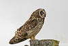 Pueo or Short-eared Owl on post