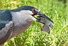 Black-crowned Night Heron with fish~Hamakua Wetlands, Kailua