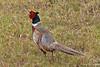 Male Ring-necked Pheasant on Big Island of Hawai'i