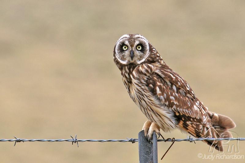 Pueo or Short-eared owl on the Big Island