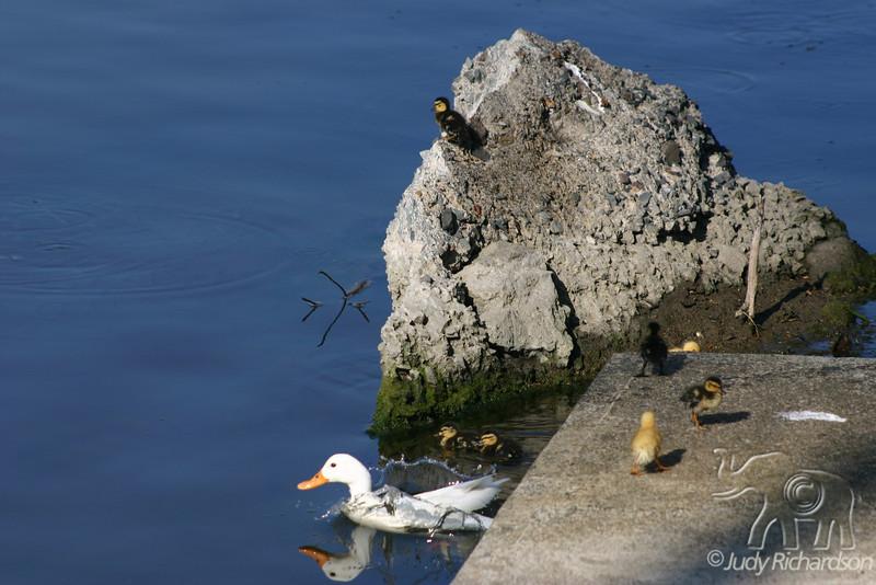 Duck with chicks jumping off dock at Enchanted Lake, Kailua, Hawai'i