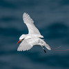 Red-tailed Tropicbird hovering, Kilauea Point