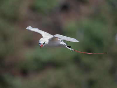 Red-tailed Tropicbird flying off Kilauea Point, Kauai