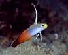 Fire Dartfish (Nemateleotris magnifica) - Pupukea, Oahu, Hawaii