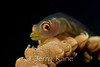 Wire Coral Goby (Brianinops amplus) - Paradise Pinnacles, Big Island, Hawaii