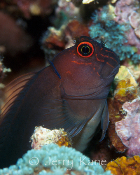 Scarface Blenny (Cirripectes vanderbilti) - Pupukea, Oahu, Hawaii