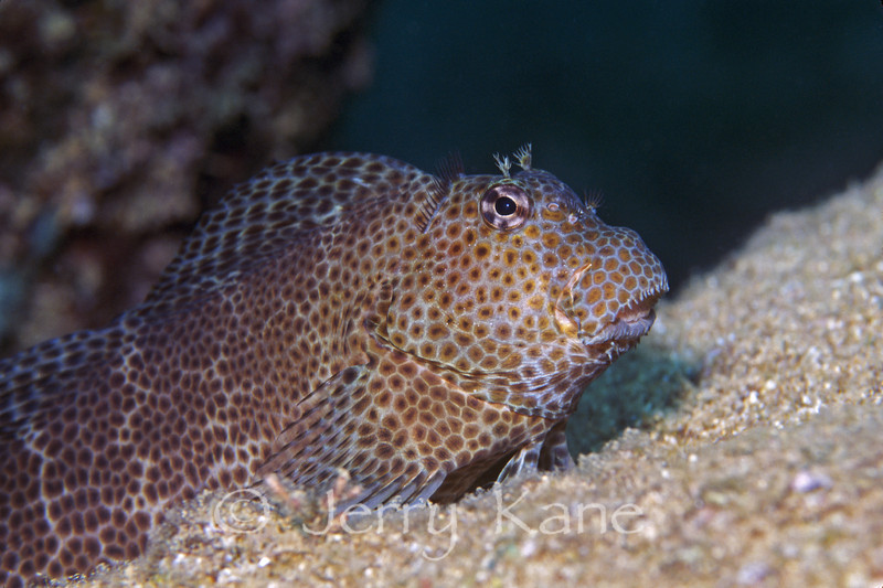 Shortbodied Blenny (Exallias brevis) - Pupukea, Oahu, Hawaii