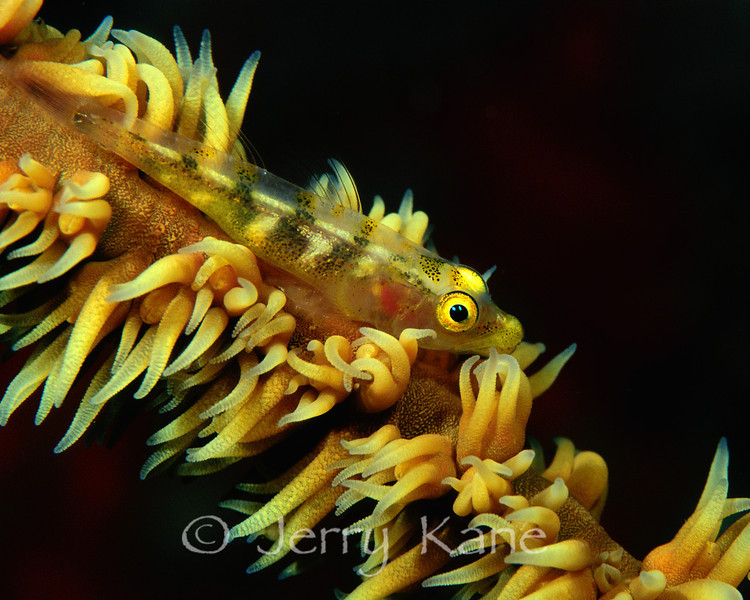 Whip-Coral Goby (Bryaninops yongei) - Oahu, Hawaii