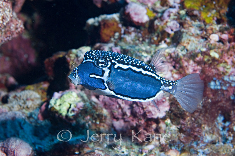 Whitley's Boxfish, male (Ostracion whitleyi) - Pebble Beach, Big Island, Hawaii