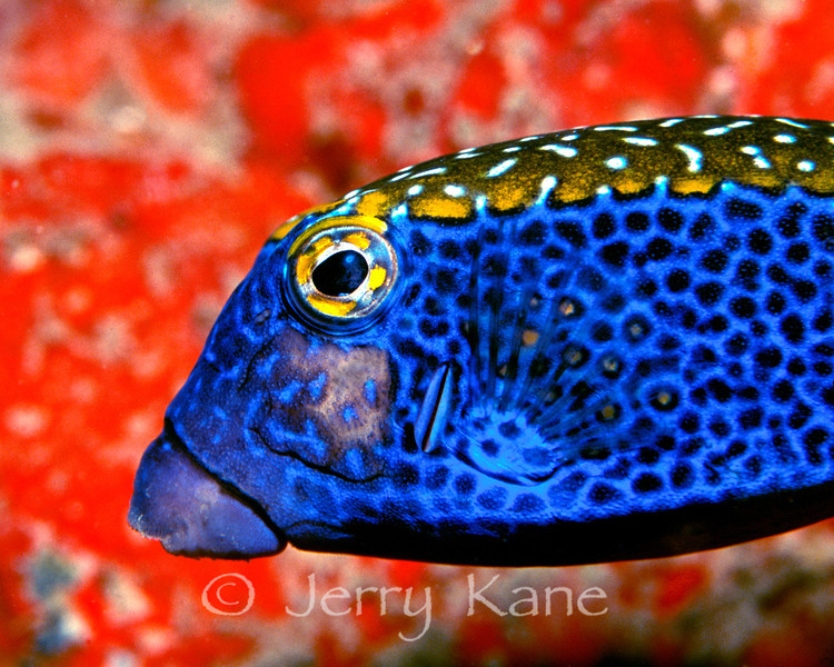 Spotted Boxfish (Ostracion meleagris) - Pupukea, Oahu, Hawaii
