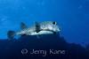 Porcupinefish (Diodon hystrix) - Kaiwi Point, Big Island, Hawaii