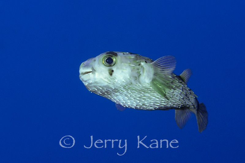 Spiny Porcupinefish (Diodon holocanthus) - Kahe Point, Oahu, Hawaii