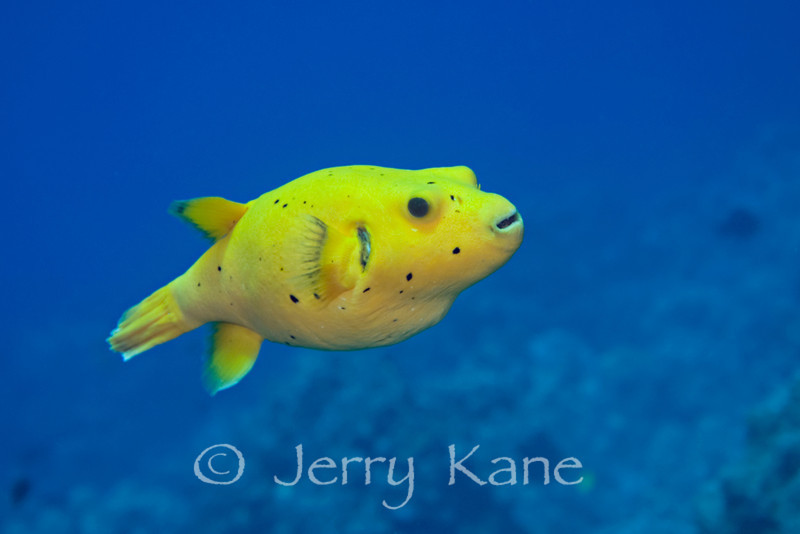 Spotted Pufferfish (Arothron meleagris) in uncommon yellow color - Kaiwi Point, Big Island, Hawaii