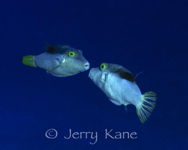 Lantern Tobies (Canthigaster epilampra) - YO-257 Wreck, Oahu, Hawaii