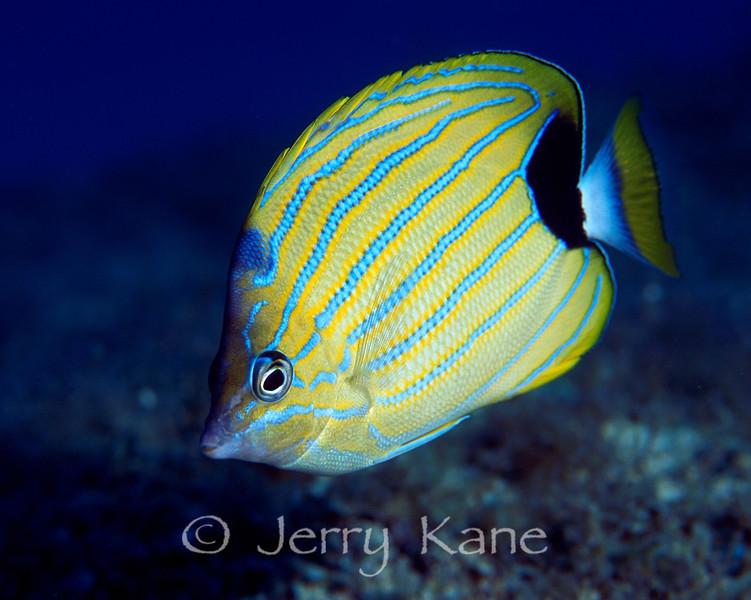 Bluestripe Butterflyfish (Chaetodon fremblii) - Oahu, Hawaii