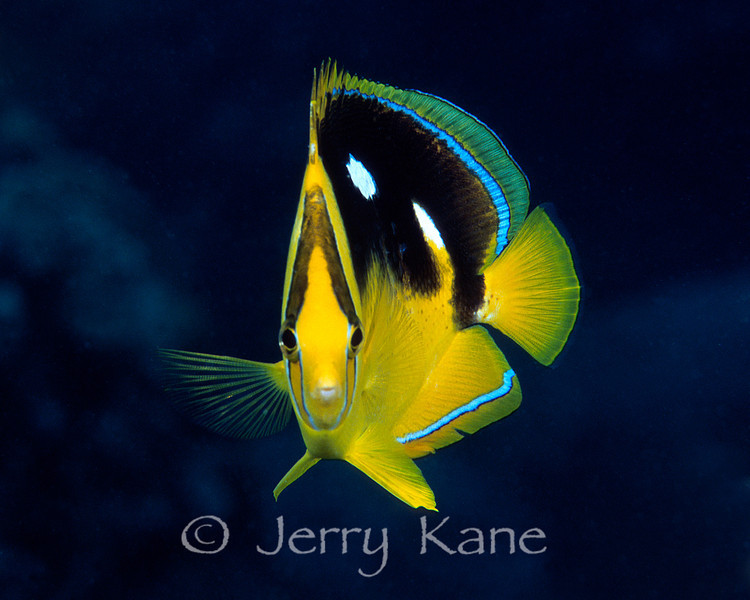 Fourspot Butterflyfish (Chaetodon quadrimuculatus) - Big Island, Hawaii