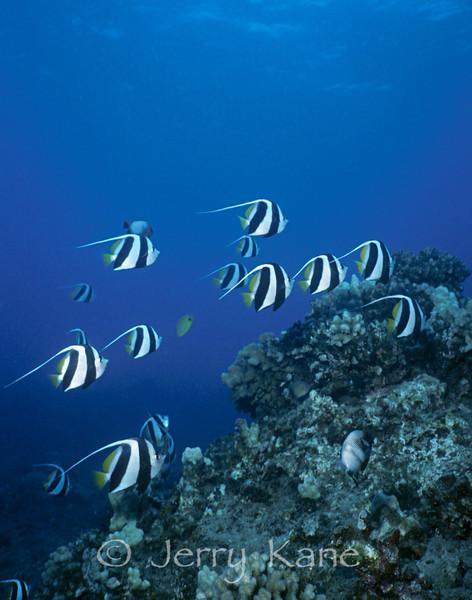 Pennant Butterflyfish (Heniochus diphreutes) - Oahu, Hawaii