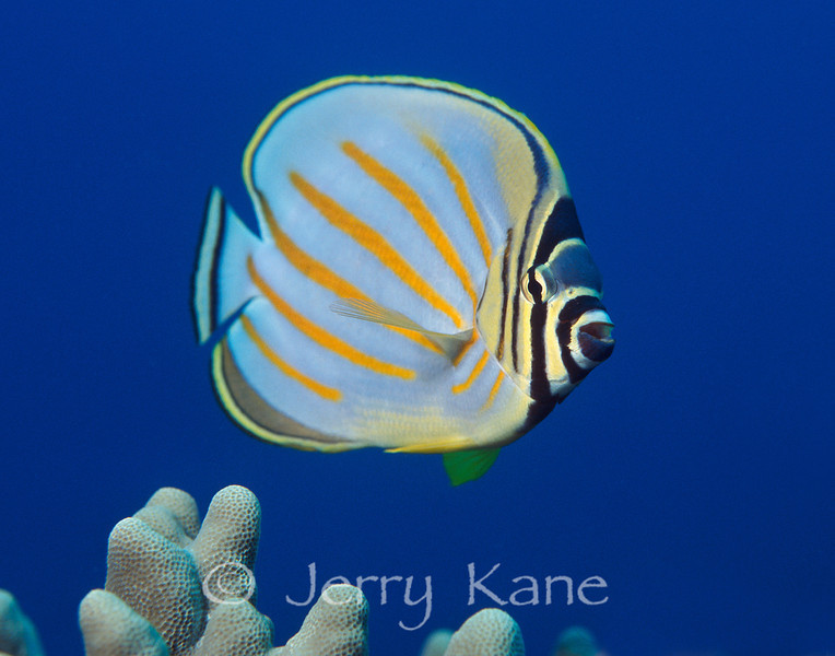 Ornate Butterflyfish (Chaetodon ornatissimus) - Honaunau, Big Island, Hawaii