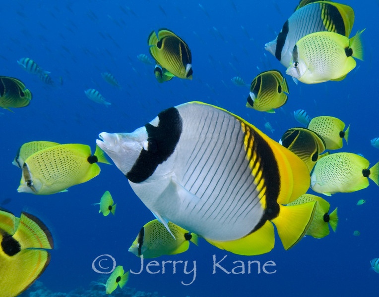 Lined Butterflyfish (Chaetodon lineolatus) with Milletseed and Raccoon Butterflyfish - Kaiwi Point, Big Island, Hawaii