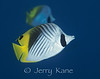 Threadfin Butterflyfish (Chaetodon auriga) - Big Island, Hawaii