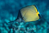 Longnose Butterflyfish (Forcipiger longirostris) morphing into new color phase - Honaunau, Big Island, Hawaii