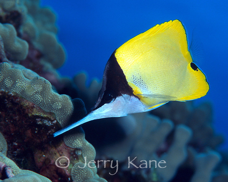 Longnose Butterflyfish (Forcipiger longirostris) - Pebble Beach, Big Island, Hawaii