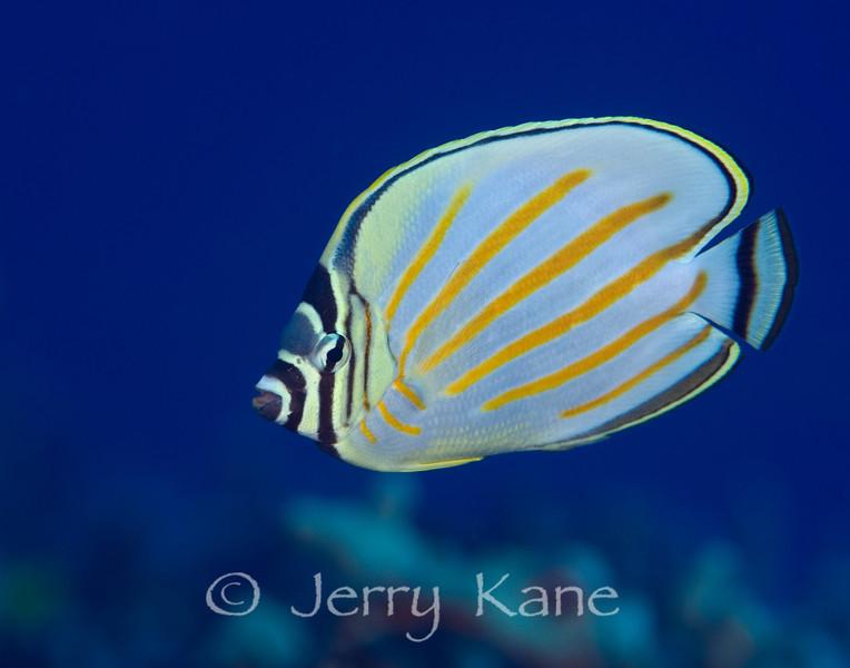 Orante Butterflyfish (Chaetodon ornatissimus) - Red Hill, Big Island, Hawaii