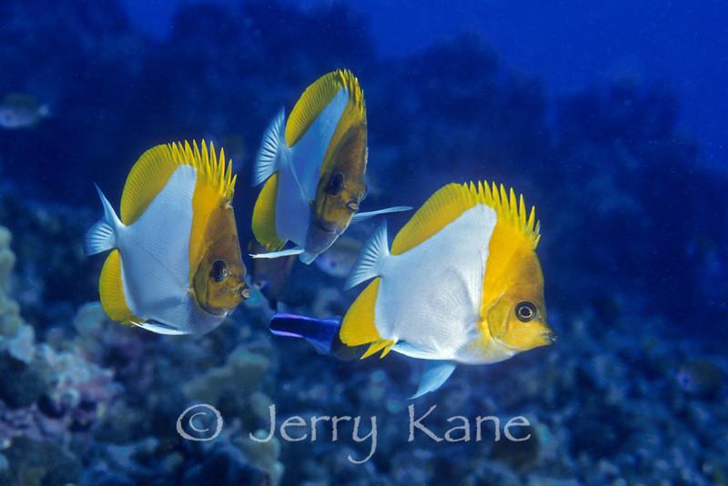 Pyramid Butterflyfish (Hemitaurichthys polylepis) - Kaiwi Pt, Big Island, Hawaii