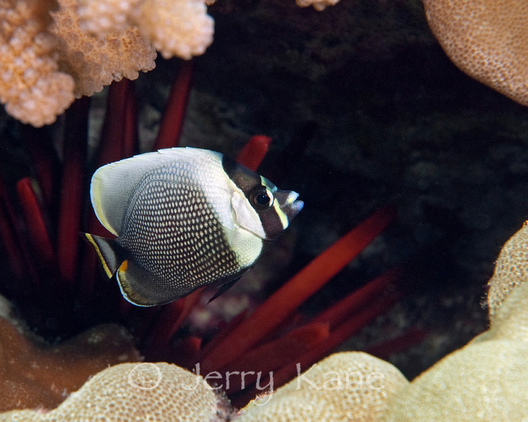 Juvenile Reticulated Butterflyfish (Chaetodon reticulatus) - Honokohau, Big Island, Hawaii