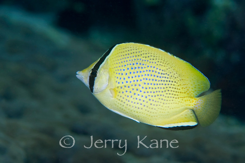 Speckled Butterflyfish (Chaetodon citrinellus) - Honokohau, Big Island, Hawaii