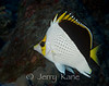 Tinker's Butterflyfish (Chaetodon tinkeri) - Big Island, Hawaii