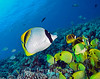 Lined Butterflyfish (Chaetodon lineolatus) - Kaiwi Point, Big Island, Hawaii