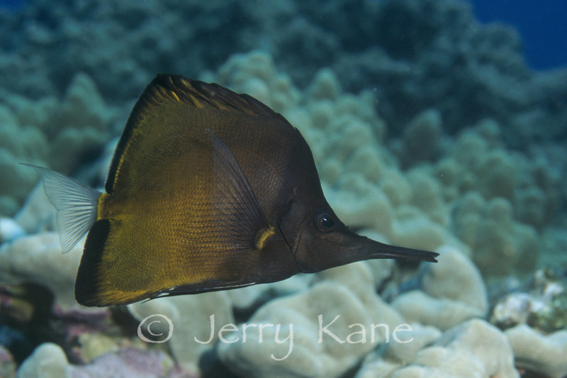 Longnose Butterflyfish (Forcipiger longirostris), dark phase - Honaunau, Big Island, Hawaii