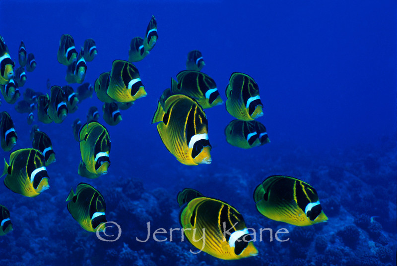 Raccoon Butterflyfish (Chaetodon lunula) - Eel Cove, Big Island, Hawaii