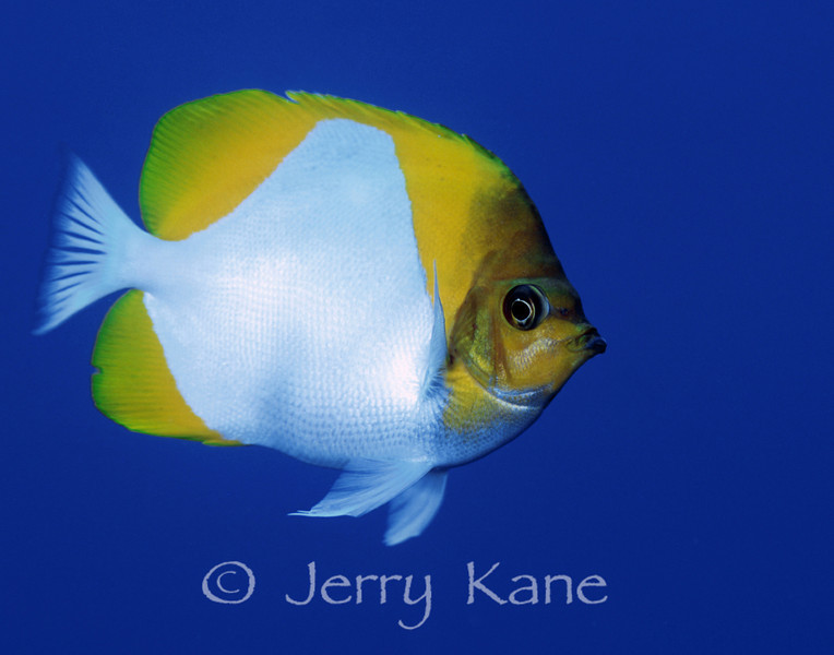 Pyramid Butterflyfish (Hemitaurichthys polylepis) - Big Island, Hawaii